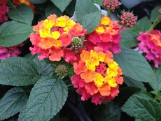 In 1988 Mark Foertmeyer established Foertmeyer & Sons Greenhouse with the vision of bringing premium flowering plants to the Central Ohio Area. Beautiful Rose Flowers, Amazing Flowers, Beautiful Birds, Colorful Flowers, Lantana Camara, Plantar, Love Wallpaper, Horticulture, Container Gardening