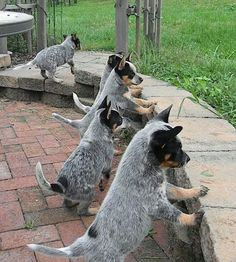 Australian Cattle dog puppies are seriously so cute i love them so freaking much. www.bullymake.com