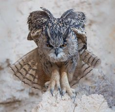 The intense look of a young Eurasian Eagle Owl, Judea lowlands, Israel thanks to Jacob Bahar Photography.