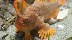 New population of world's rarest fish discovered