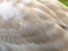 swan feathers closeup - Google Search