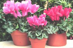 With as much light as possible keep it below 68 176 f a cyclamen won t