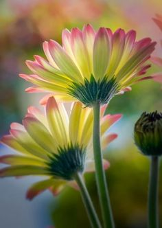 Gerber daisies...