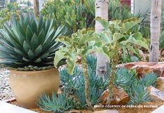 potted plant and in-ground plantsSmall planting pockets make fine sites for many drought-tolerant plants. Create an attractive vignette with a large pot of 'Blue Glow' agave, velvet elephant ear, blue chalksticks, and a few randomly positioned rocks.