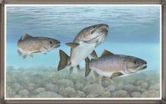 Salmon Fish Images