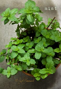 Mint plant: mint plants serve several useful functions. It contains menthol, which is an anesthetic. It's also a Source of antioxidants and minerals like potassium, calcium, iron, and magnesium. My nana used to give me a fresh mint gap to chew on when I had an upset stomach :)