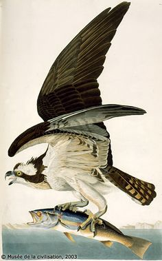 "When Audubon wrote his Ornithological Biography, he mentioned that the Osprey was the most gregarious of all hawks, having a more ""social disposition""."
