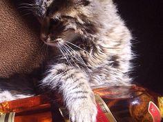 Modelo de gato