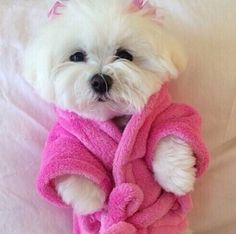 Design Discover Maltese Dog Just a little white pup getting ready for bed in her pink furry robe and bows. Cute Baby Animals Animals And Pets Funny Animals Cute Puppies Cute Dogs Dogs And Puppies Doggies Little Dogs Maltese Dogs Teacup Puppies, Cute Puppies, Cute Dogs, Teacup Maltese, Cute Baby Animals, Animals And Pets, Funny Animals, Maltese Dogs, Maltese Facts