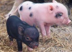 aww little tiny pigs Tiny Pigs, Pet Pigs, Mini Pigs For Sale, Baby Pigs For Sale, Teacup Pigs For Sale, Cute Piglets, Teacup Piglets, Baby Piglets, Miniature Pigs
