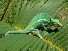 Chameleon. Reunion Island. [Réunion is a French island with a population of 840,974 inhabitants located in the Indian Ocean, east of Madagascar, about 200 kilometres southwest of Mauritius, the nearest island. ]