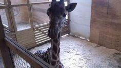 #Giraffe watch: 'Progress,' no baby yet - WTVM: WDIV Detroit Giraffe watch: 'Progress,' no baby yet WTVM HARPURSVILLE, NY (RNN) - In a…