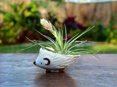 Blooming air plant from Air Plant Design Studio   Measuring Hedgies from Anthropologie