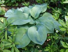 Jumbo Cultivar Our sieboldiana Elegans Hosta is a jumbo blue hosta that turns dark green by mid-summer. Leaves are very thick and heavily corrugated.