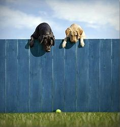 LABRADOR – Who can resist a lab puppy? ❤ Labrador Retriever: Please may we have our ball? Cute Puppies, Cute Dogs, Dogs And Puppies, Doggies, Animals And Pets, Funny Animals, Cute Animals, Golden Retrievers, Dog Photos