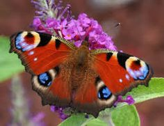 Image result for peacock.butterfly