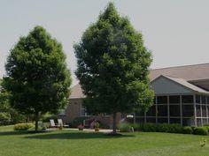 Beautiful Ornamental Ash Trees