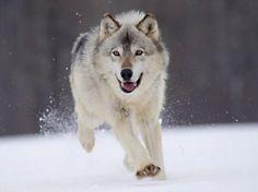 Animaux - Loup blanc des neiges