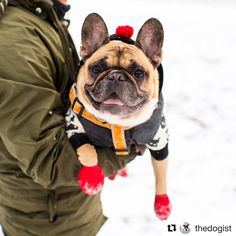 Tuppee, the French Bulldog in the NYC Snow