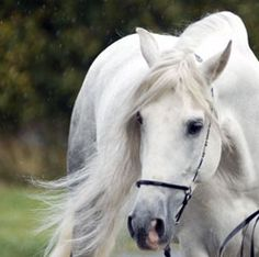 Andalusian stallion Mazarati DW