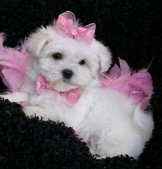 Maltese puppies are just too cute! I miss my maltese! Teacup Maltese, Teacup Puppies, Maltese Dogs, Little Puppies, Cute Puppies, Cute Dogs, Dogs And Puppies, Doggies, Beautiful Dogs
