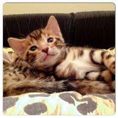 Zimba Bengal cat doha Qatar