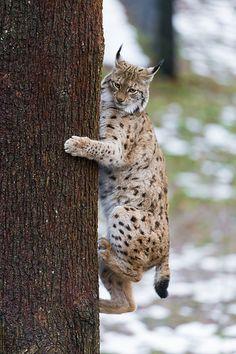 Lynx getting down the tree II