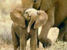 awe cute baby elephant