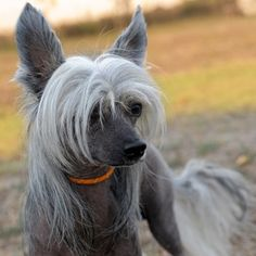 chinese crested dog | Chinese Crested Information and Puppies For Sale