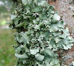 Lichen thallus types, illustrated (Alan Silverside's photographs of lichens (FAQ)) Foliose type
