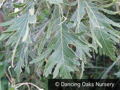 Quercus dentata 'Pinnatifida', Cutleaf Emperor Oak