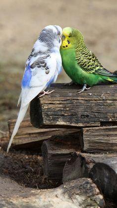 <3 parakeets