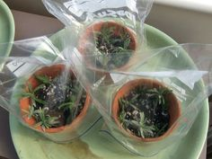 Plants for Free – How to Propagate Lavender - lavender garden Growing Lavender, Growing Herbs, Urban Balcony, Container Gardening, Gardening Tips, Pallet Gardening, Vegetable Gardening, How To Propagate Lavender, Landscaping