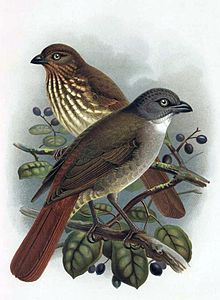 The South Island piopio (Turnagra capensis) also known as the New Zealand thrush, was a passerine bird of the Oriolidae family. North Island piopio in front, South Island piopio at rear