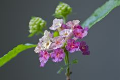 Lantana with Buds by the talented Joel Eagle.  Hello, Spring!