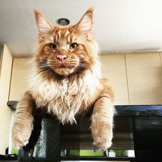 My 10 months baby! ------------------------- Follow us: -@mainecoonloves ------------------------- Douple tap and tag your #MaineCoon loving friends below! Be sure to hit follow for awesome pics! From: @mainecoon.pt Thank you so much !