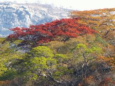 More lovely Msasa trees (Zimbabwe) African Vacation, African Tree, Just Dream, Closer To Nature, Tree Forest, Photo Tree, Zimbabwe, What A Wonderful World