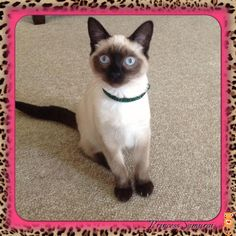 Siamese/Orientals cats.Lilac point,Seal tabby silver Siamese,Seal point ,Balinese andTonkinese.
