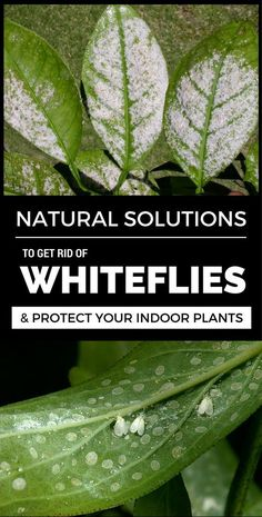 Before resorting to chemicals, try natural solutions. Check them out in this article and see how to get rid of whiteflies to protect your indoor plants. Plant Insects, Plant Pests, Garden Pests, Plant Bugs, Garden Insects, Garden Care, Vegetable Garden, Garden Tools, Hydroponic Gardening