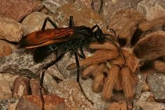 Image result for pictures of the biggest wasps in the world