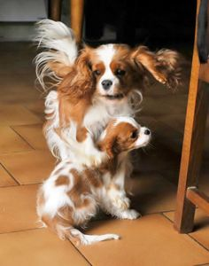 A gallop in mama's step when she sees her pup! #dogs #pets #CavalierKingCharlesSpaniels