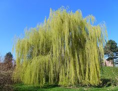 Weeping Willow Tree - Haiku Poem    Cascading branches     Majestic and beautiful     Silently it weeps