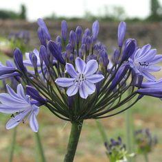 AGAPANTHUS 'Rosewarne' (Agapanthe) : Connues surtout pour la décoration des bacs et jardinières, elles conviennent aussi à la décoration des massifs ensoleillés, en climat doux. Se plait en sol ordinaire, poreux, enrichi de préférence. Feuillage persistant. Fleur énorme, blanc bleuté, veiné de bleu plus foncé.