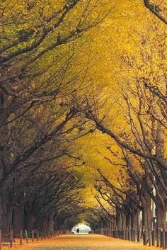 """- Top 10 Beautiful Tree Tunnels of the World GINKGO TREE TUNNEL, JAPAN Ginkgo biloba is a highly venerated tree in Japan.This tree is regarded as """" the bearer of hope """", """"the survivor"""", """"the living fossil"""" Places To Travel, Places To See, Travel Things, Travel Destinations, Places Around The World, Around The Worlds, Tree Tunnel, Magical Tree, Belle Photo"""