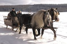 Black Forest Horses from Germany