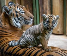 Wanita the Malayan Tiger cub shows off her feisty personality at Prague Zoo. The birth of Wanita and her brother Bulan is crucial to the survival of this Critically Endangered species: fewer than 350 remain in the wild. See more photos on ZooBorns.com