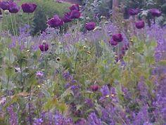 Dark poppies and catnip. Wiston House. West Sussex. July 2013