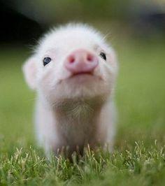 Photo : Ce bébé cochon, appelé porcelet, nous dit bonjour!