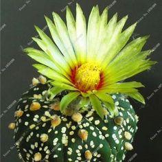Cacti Pots Semillas De Plantas De Flores, Beautiful Flower Bonsai Seeds ,Radiation Protection 100 pcs