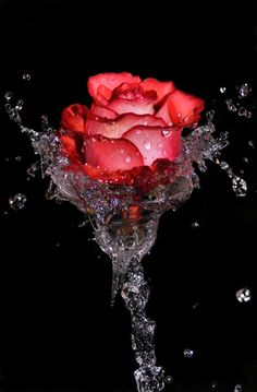 the sweet hot red rose Beautiful Flowers Wallpapers, Beautiful Rose Flowers, Beautiful Nature Wallpaper, Pretty Wallpapers, Amazing Flowers, Love Flowers, Beautiful Beautiful, Beautiful Pictures, Rose Flower Wallpaper